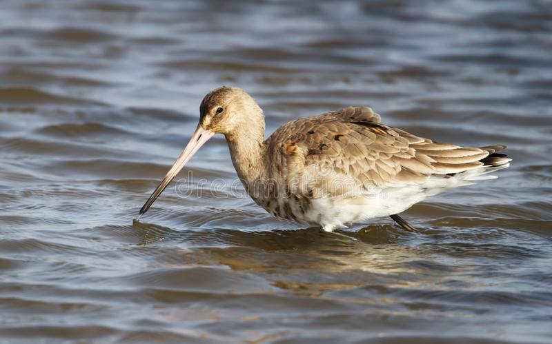 Close up of a Black-tailed godwit in water stock photography