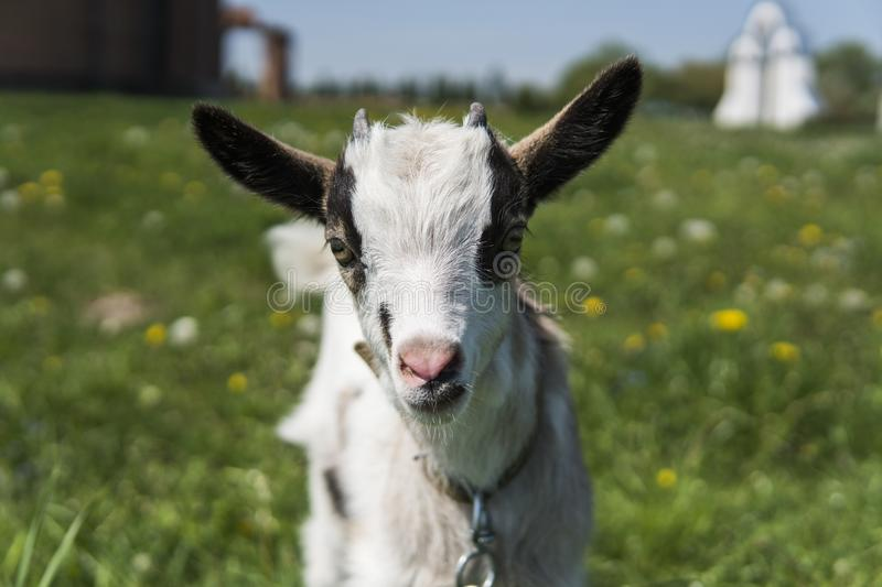 Close up black and white baby goat on a chain against grass flowers building on a background. White ridiculous kid is royalty free stock images