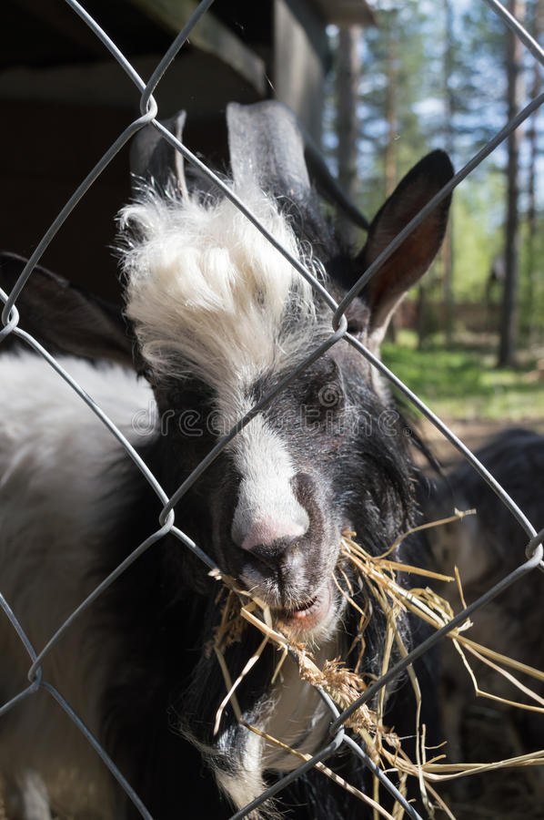 Close up a black and white goat eating straw behind the cell in the finland zoo royalty free stock image