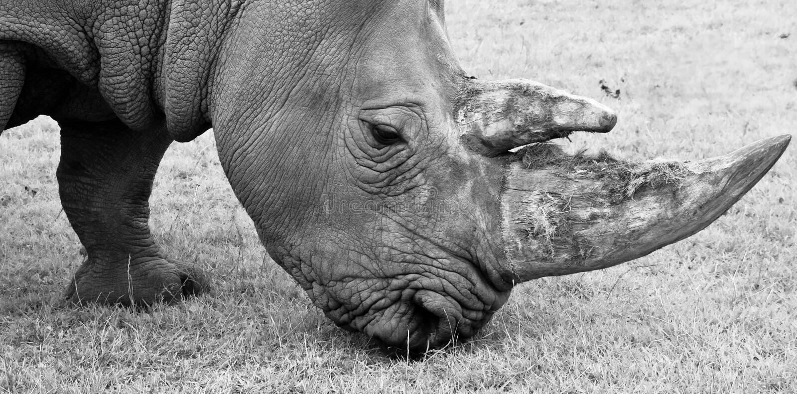 Close up black and white rhino royalty free stock image