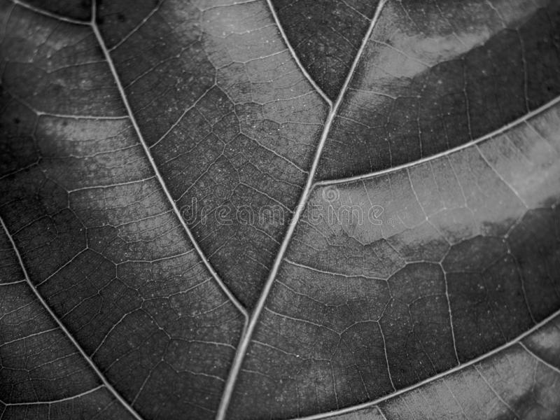Close up black and white texture of leaf natural background. royalty free stock image