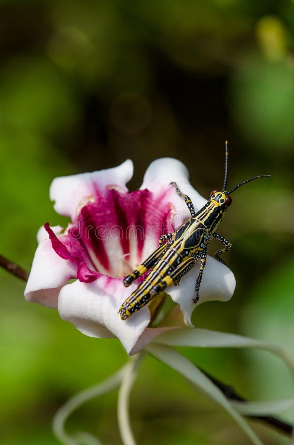 Close-up of black and yellow cricket sitting on beautiful pink exotic flower, Ghana, West Africa.  stock photos
