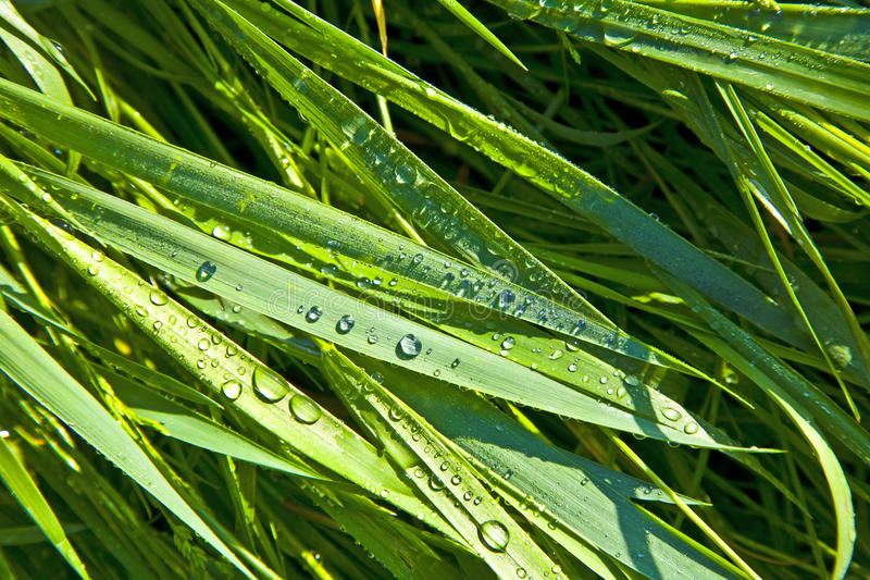 Close-up of blades of grass with dewdrops royalty free stock photos