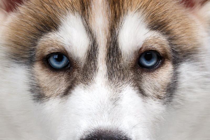 Close-up Blauwe Ogen Siberisch Husky Puppy stock foto's