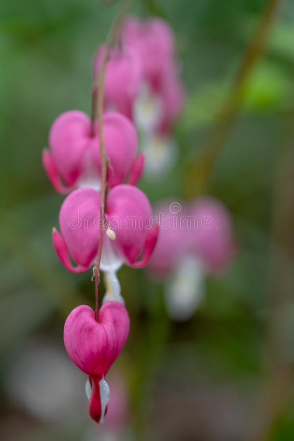Close up of bleeding heart flowers, also known as `lady in the bath`or lyre flower, photographed in Surrey, UK. royalty free stock photos