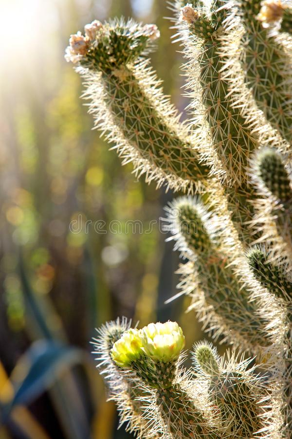 Close-up bloeiende bloem op Cholla-cactus stock fotografie