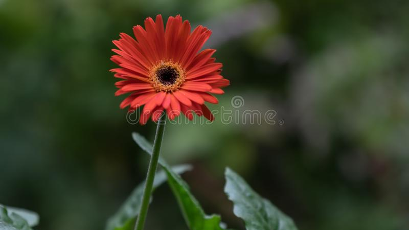 Close up of Blood Orange  Gerber Daisy Gerbera jamesonii with Green foliage and on a blurred background stock photos
