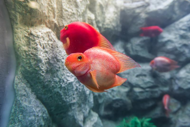 Close up of blood parrot cichlid fish Amphilophus citrinellus x Paraneetroplus synspilus stock images