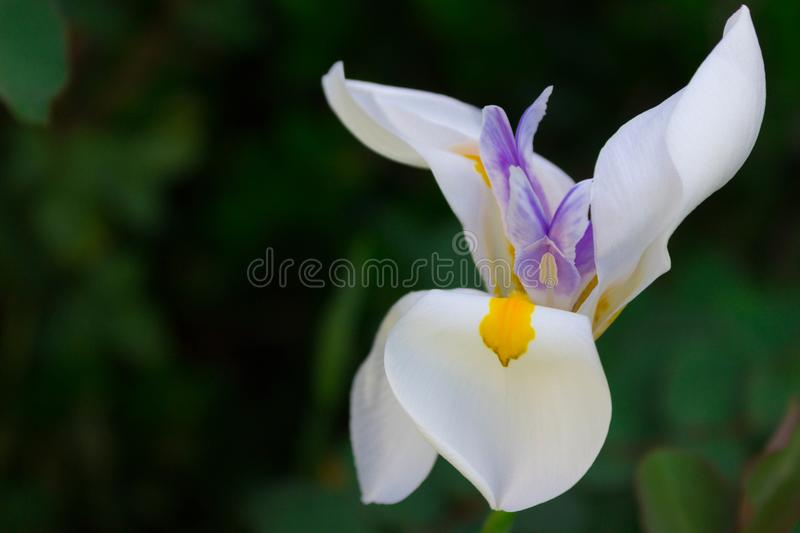 Close-up of blooming African Iris or Fortnight Lily. In a garden stock photography