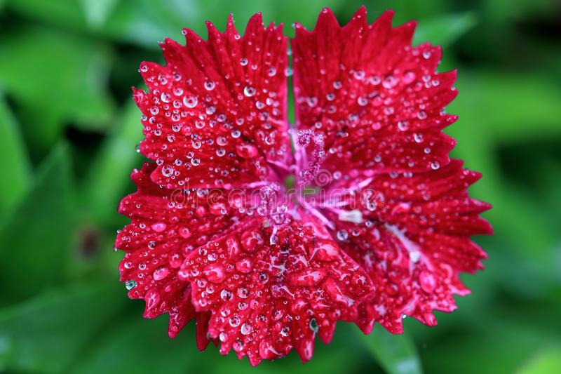 Close up of Blooming beautiful red Dianthus flower & x28;Dianthus chi. Nensis& x29; with dewdrop in the fields, morning light, selective focus, shallow depth of stock photography
