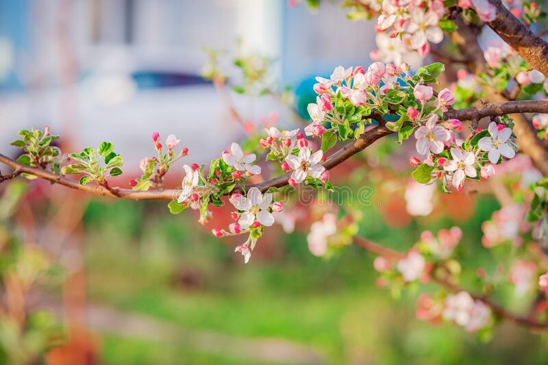 Close up of blooming buds of apple tree in the garden. Blooming apple orchard in spring sunset. Blurred background with place for text stock images
