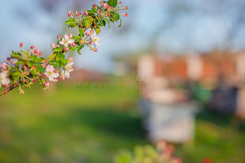 Close up of blooming buds of apple tree in the garden. Blooming apple orchard in spring sunset. Blurred background with place for text royalty free stock photography