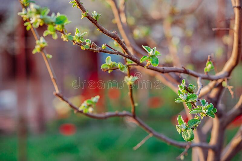 Close up of blooming buds of apple tree in the garden. Blooming apple orchard in spring sunset. Blurred background with place for text stock photo