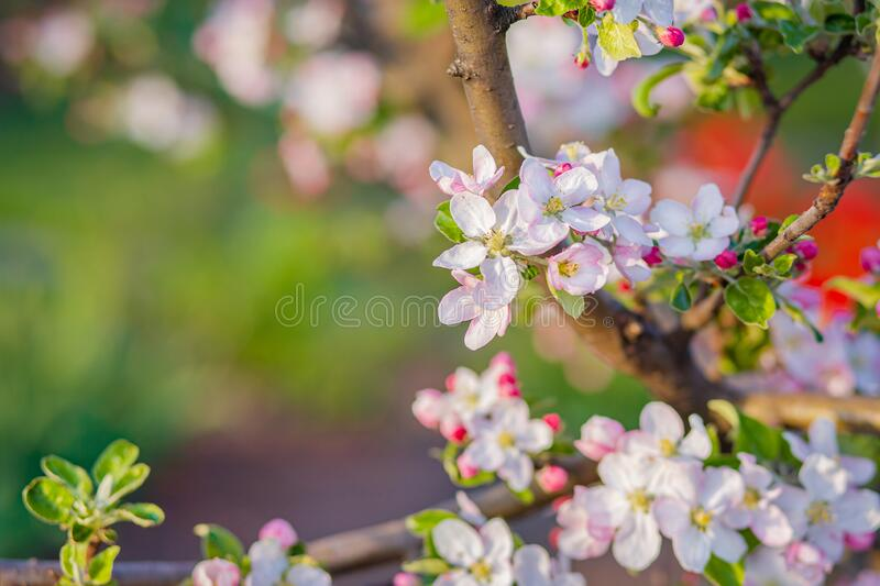 Close up of blooming buds of apple tree in the garden. Blooming apple orchard in spring sunset. Blurred background with place for text royalty free stock photo