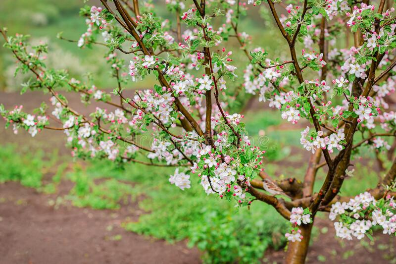 Close up of blooming buds of apple tree in the garden. Blooming apple orchard in spring sunset. Blurred background with place for text stock photography