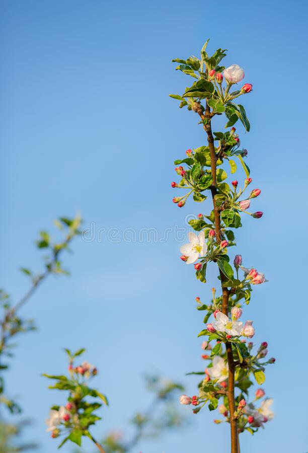 Close up of blooming buds of apple tree in the garden. Blooming apple orchard in spring sunset. Blurred background with place for text royalty free stock image