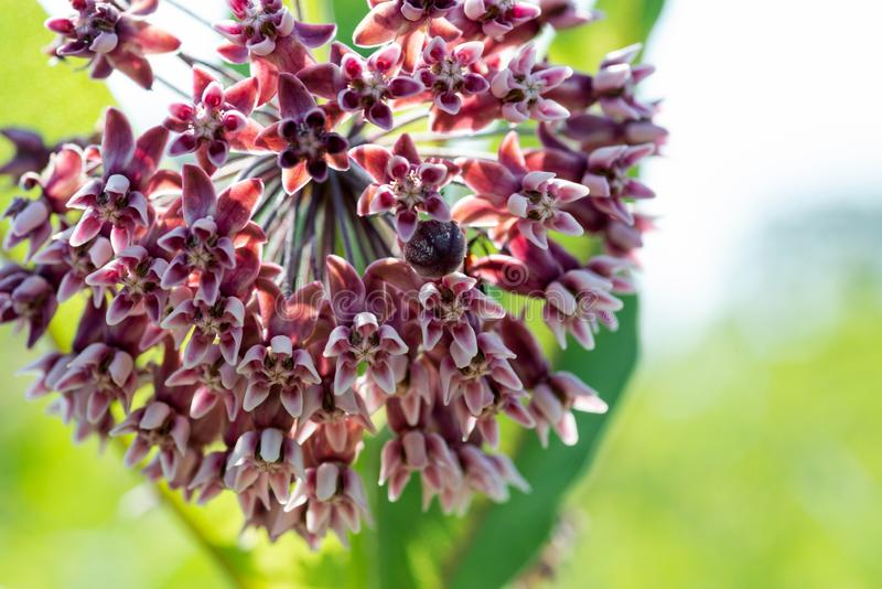 Close up of a Blooming Common Milkweed Plant in a prairie field. Species Asclepias syriaca. Butterfly flower, Virginia Silkweed,. Silky Swallow-wort royalty free stock image