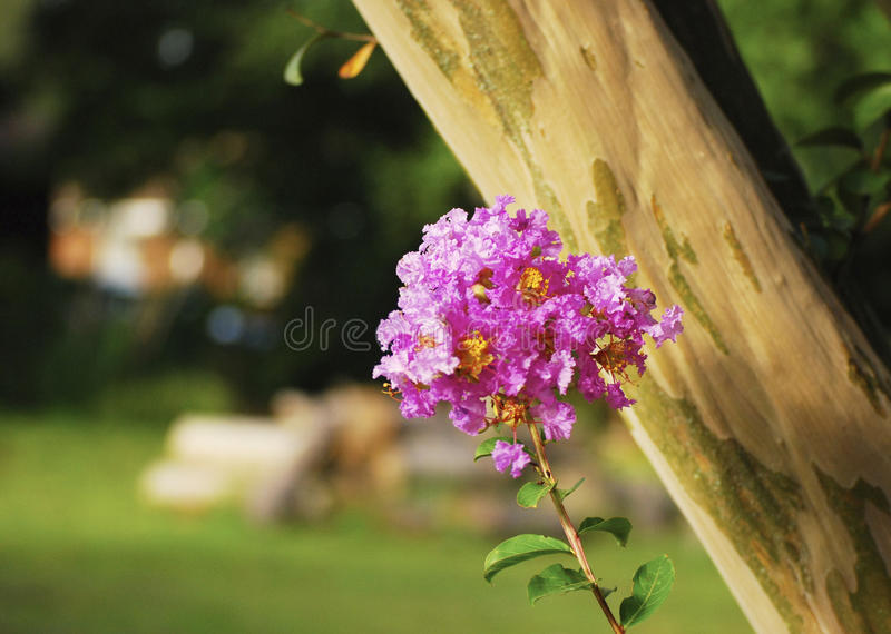 Crepe myrtle flower in garden royalty free stock photography