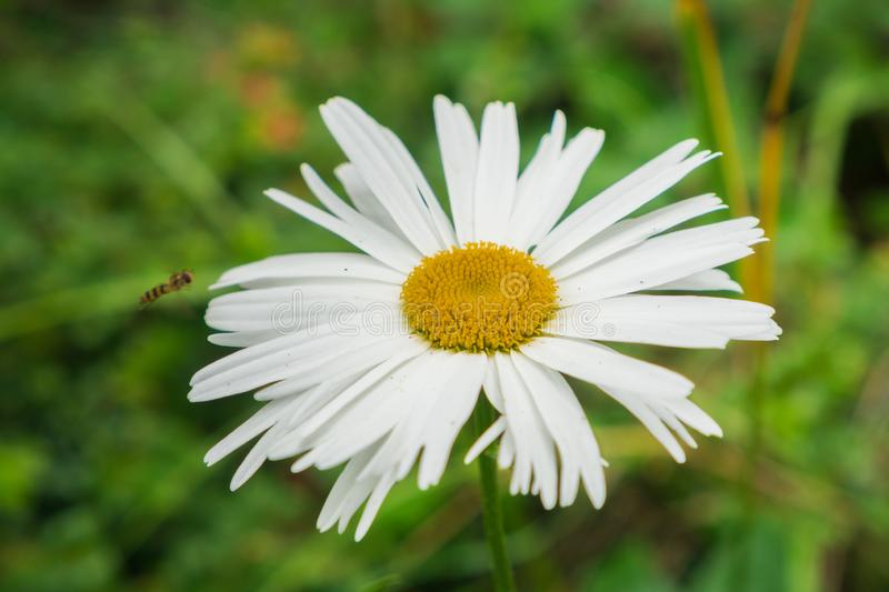 Close up of a blooming daisy flower royalty free stock images
