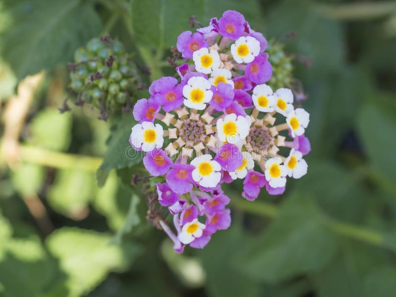 Close up blooming flower Lantana camara big sage, wild sage or Lantana. Beautiful small flowers tickberry and green royalty free stock images
