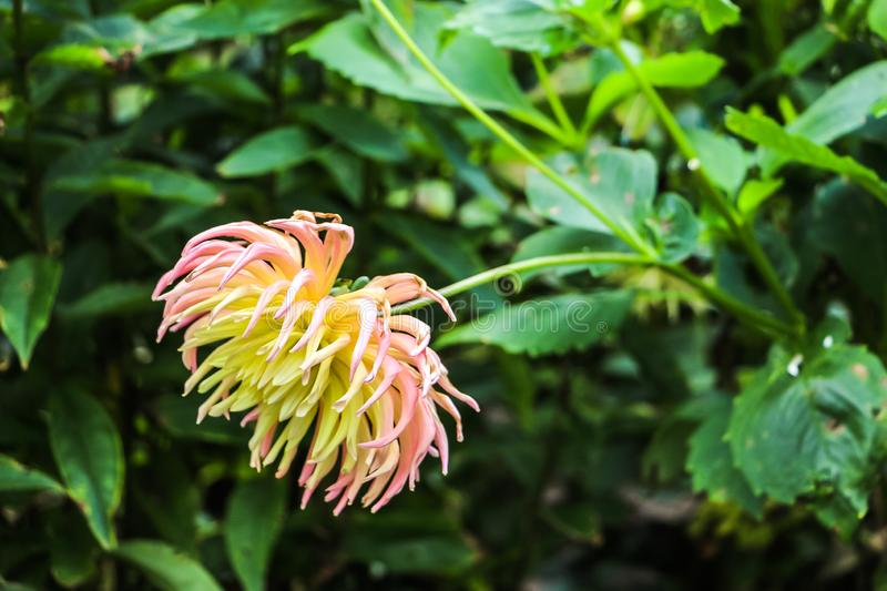 Close up of blooming flower in lush green forest Ireland royalty free stock photos