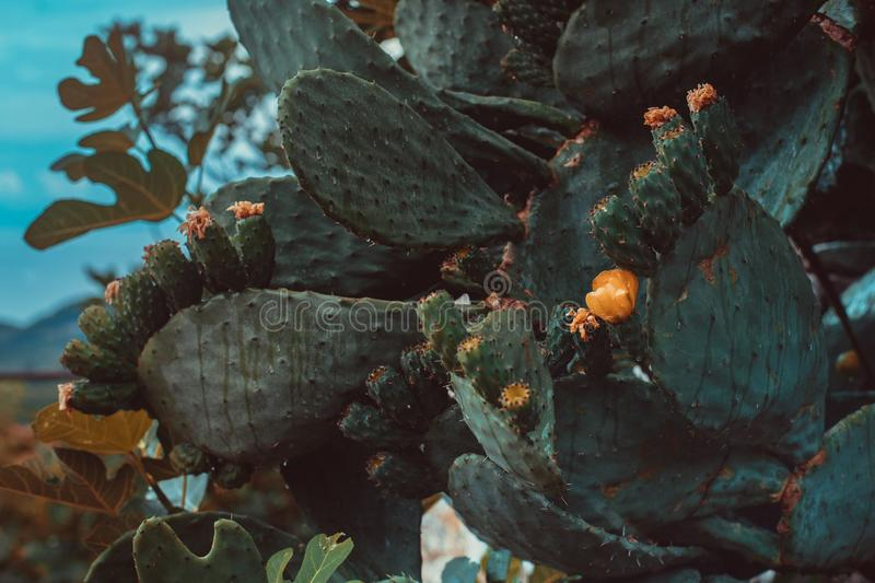 Giant blooming cactus close up royalty free stock photo