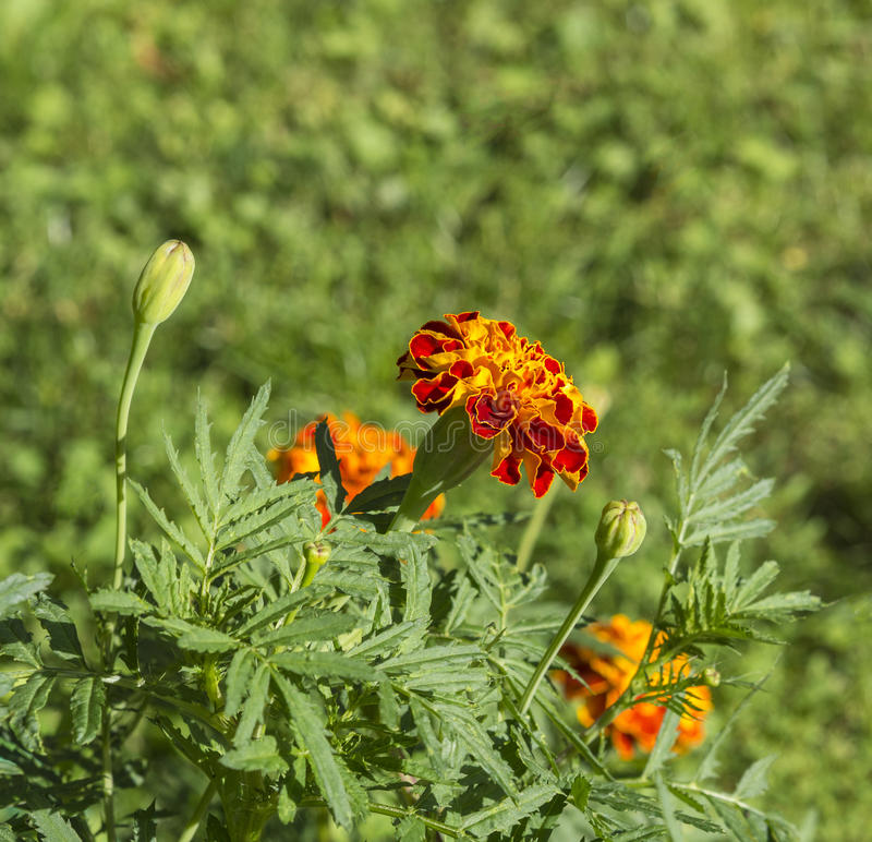 Close up blooming orange French marigold - Tagetes patula. On green background stock photography