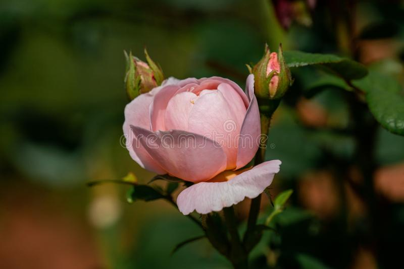 Close up of a blooming pink royalty free stock photography