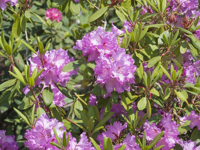 Close up blooming pink violet Rhododendron flower blossom, selective focus, green leaves background, beautiful floral stock photos