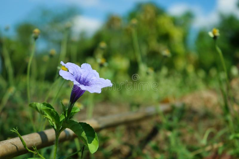 Close up blooming purple flowers of Minnieroot stock photography