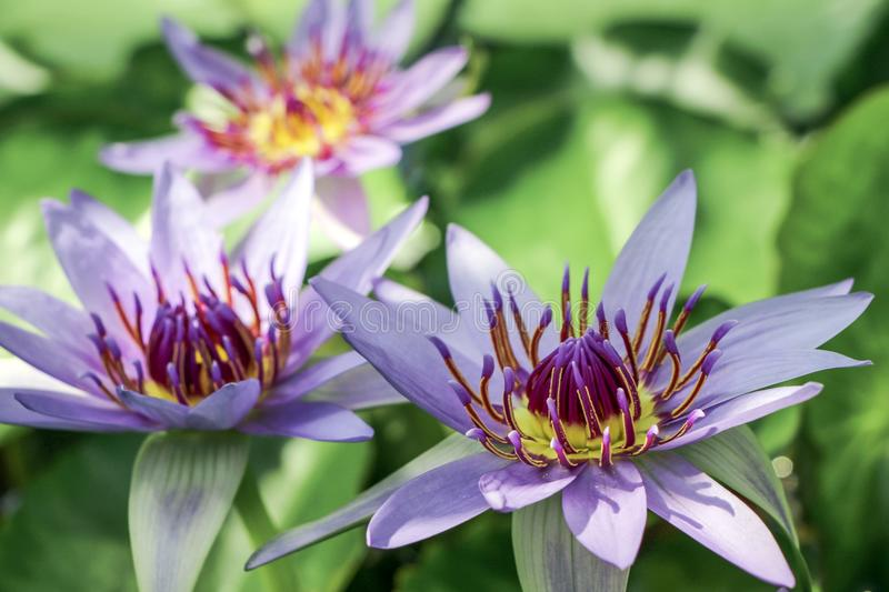 Close up of purple water lily flower stock image