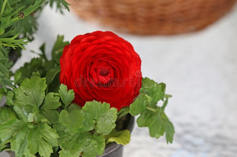 Close up of blooming red buttercup ranunculus flower. Seasonal spring flowers royalty free stock photos