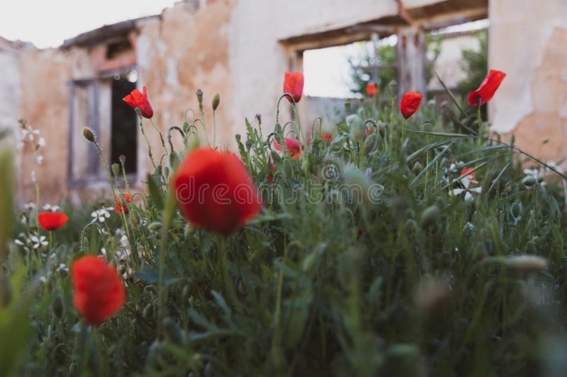 Close-up of blooming red poppies over wild grasses on a golden sunset.  stock photography