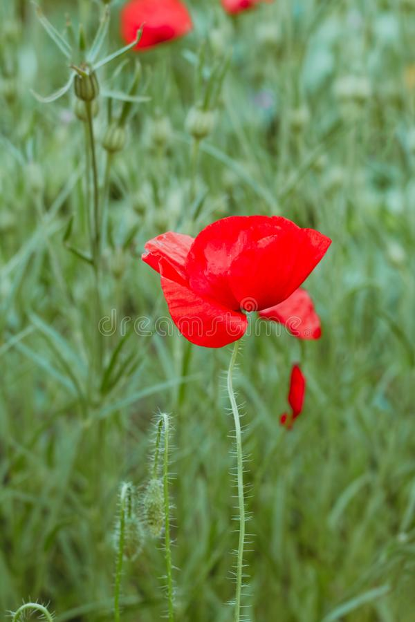 blooming red poppy flowers field stock photo