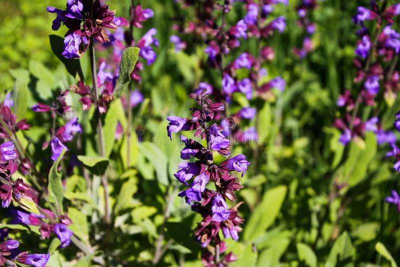 Close up of blooming sage salvia plant bush in garden bed, Germany stock image
