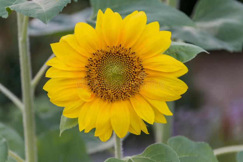 Close-up of a blooming sunflower. Close-up of a large yellow sunflower Helianthus in the garden stock images