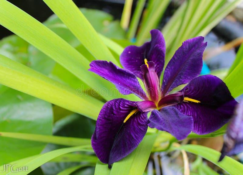 Swamp Iris royalty free stock image