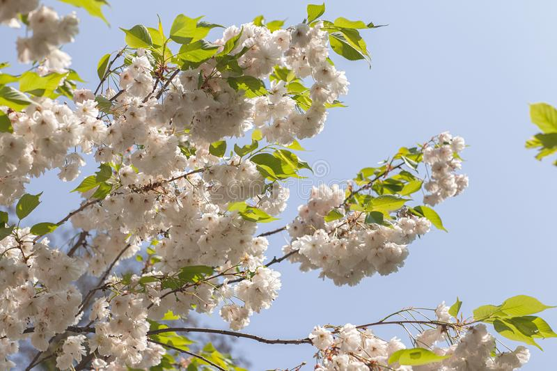 Close-up of blooming tree branches with flowers. Wallpaper, background and texture stock photography