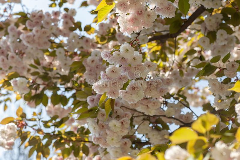 Close-up of blooming tree branches with flowers. Wallpaper, background and texture stock photo