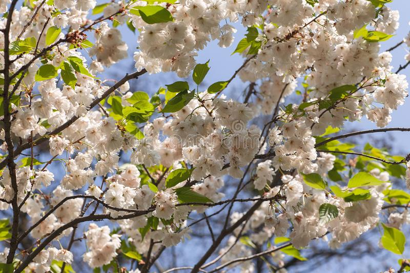 Close-up of blooming tree branches with flowers. Wallpaper, background and texture stock photos