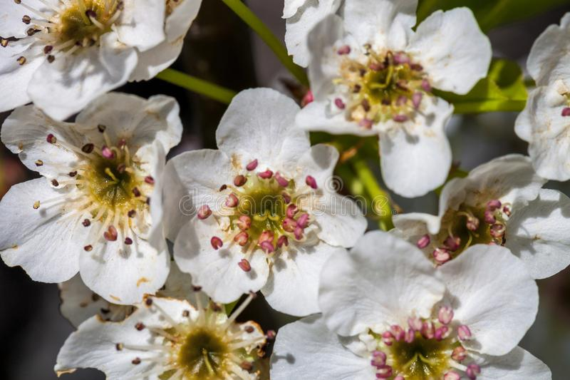 Close up of blooming white cherry blossom on branch, background with cherry blossoms stock photography