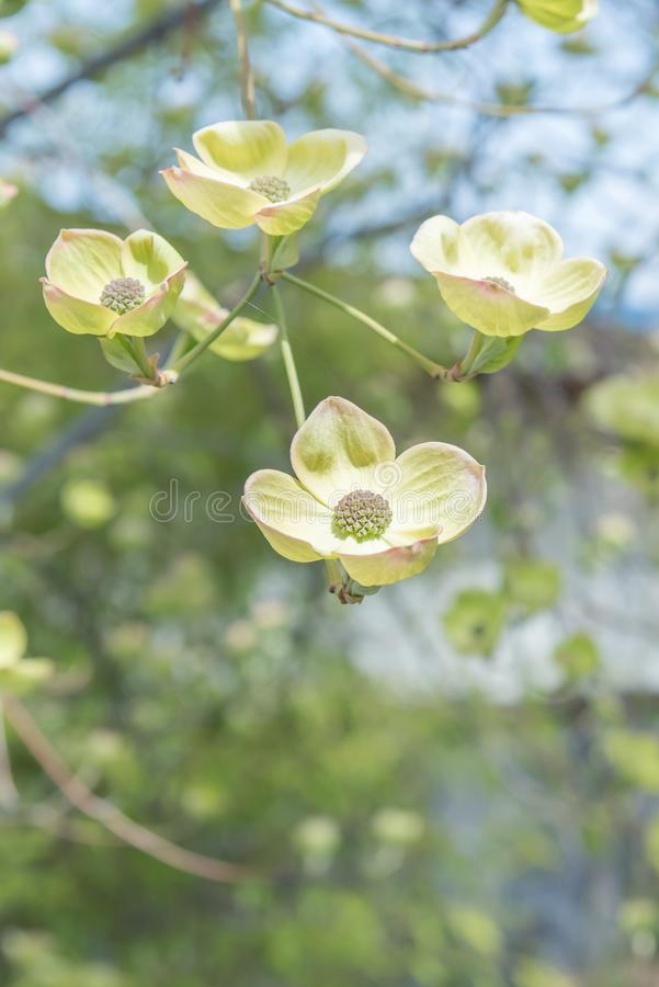 Close-up of blooming white flowering dogwood blossoms in early spring stock photo