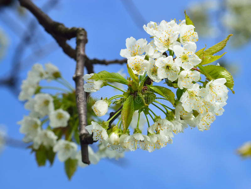 Close up of blooming wild cherry royalty free stock photos