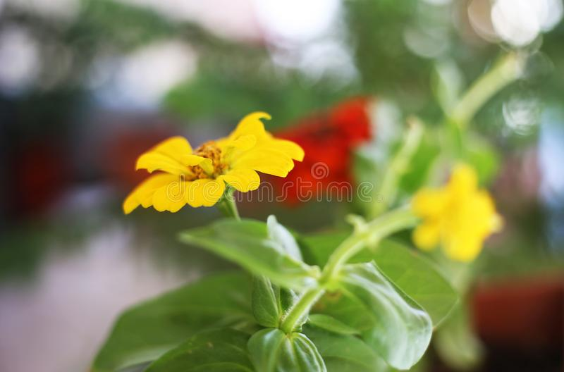 Close up of blooming zinnia flowers in yellow and red colors - seasonal spring flowers royalty free stock photography