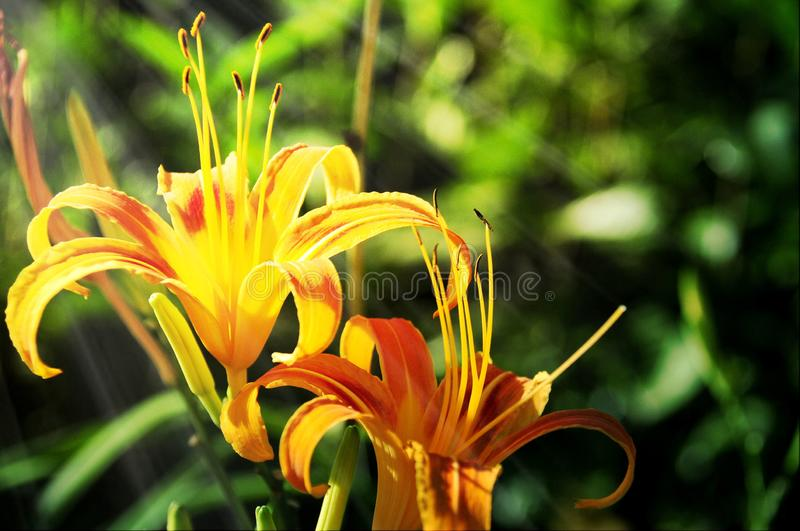 Beautiful and elegant lily. The close up for a bloomy yellow lily royalty free stock photos