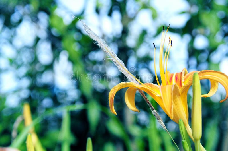 Beautiful and elegant lily. The close up for a bloomy yellow lily stock image