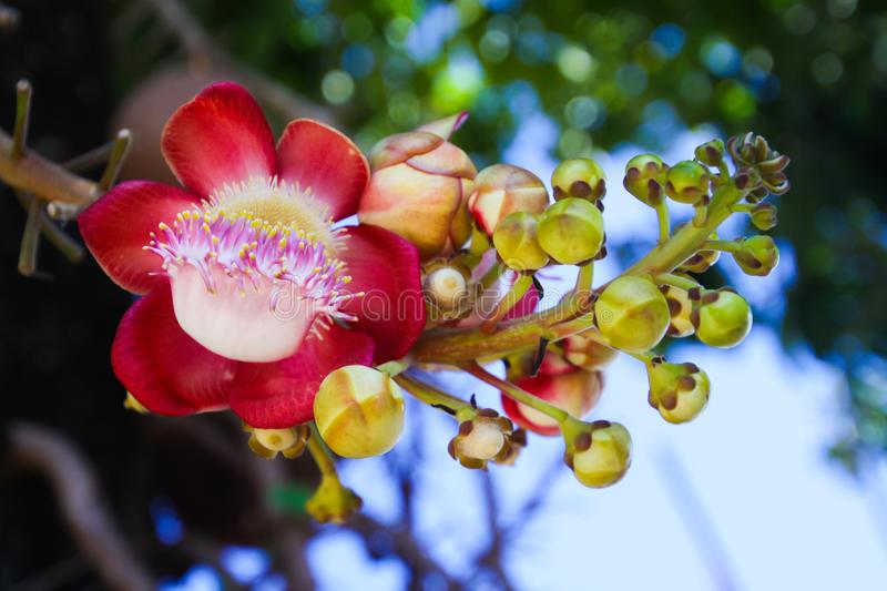 Close up of blossom and fruits of cannonball tree couroupita guianensis in Thailand. Close up of blossom and fruits of cannonball tree couroupita guianensis royalty free stock image