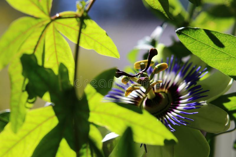 Close-up of blossom of Passiflora caerulea, the common passion flower.  royalty free stock image