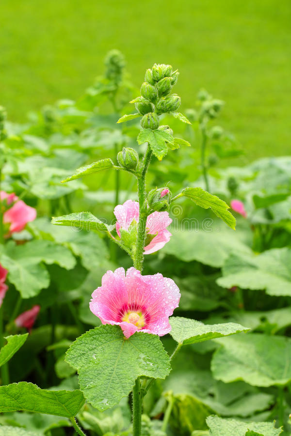 Close-up blossoming цветка Hollyhock стоковые фото