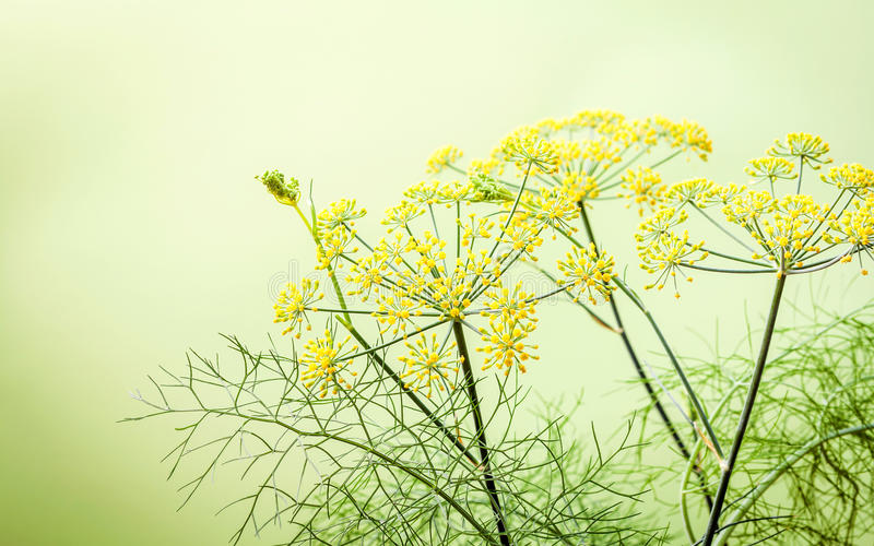 Close up blossoming branch of fennel on light green background.Selective focus depth of field. royalty free stock photo